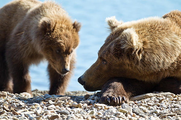Grizzly And Cub Print by Brandon Broderick