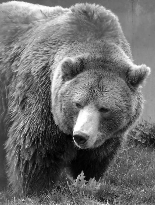 Black And White Bear : Grizzly bear and black white by tiffany vest