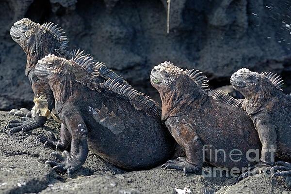 Group Of Marine Iguana Lying On Rock Print by Sami Sarkis