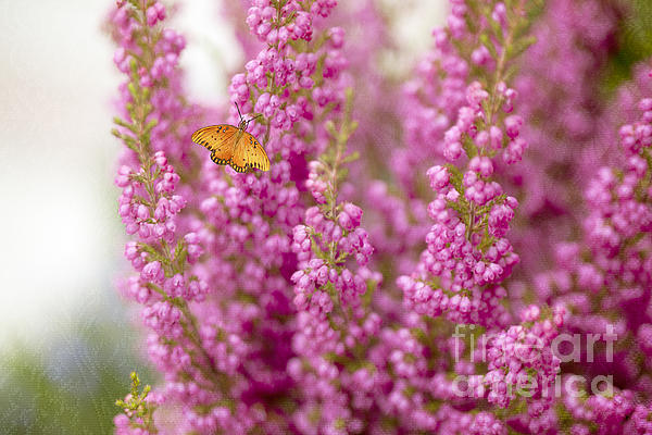 Susan Gary - Gulf Fritillary Butterfly on Passionate Pink Flowers
