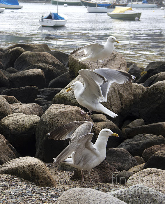 Gull Dance Photograph