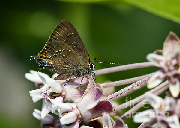 Brian Peterson - Hairstreak