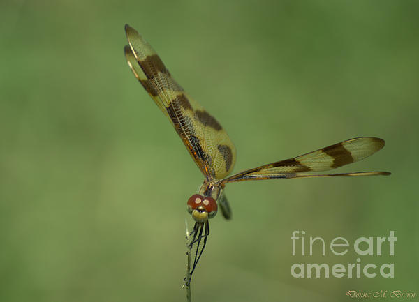 Donna Brown - Halloween Pennant Dragonfly