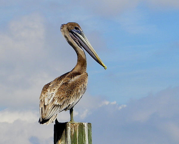 Handsome Brown Pelican Print by Judy Wanamaker