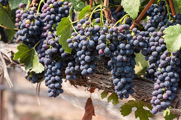 Hanging Wine Grapes Print by Dina Calvarese