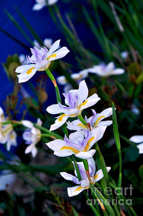Happy Wild Iris Print by Kaye Menner