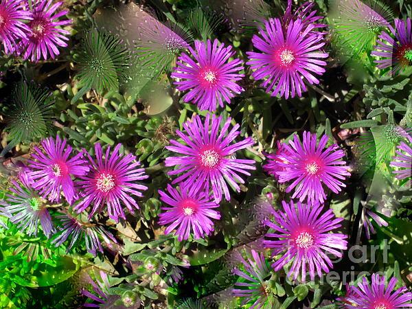 Phyllis Kaltenbach - Hardy Ice plant High Desert