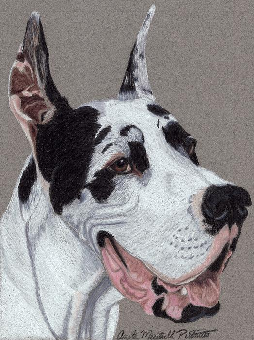 Harlequin Great Dane Vignette Drawing - Harlequin Great Dane Vignette ...