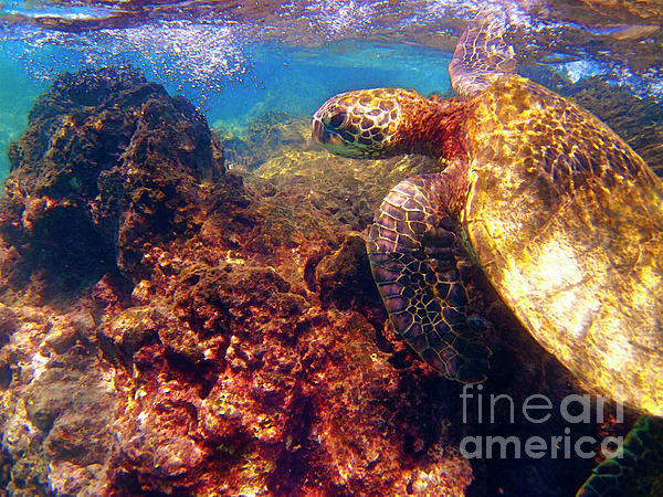 Hawaiian Sea Turtle - On The Reef Print by Bette Phelan