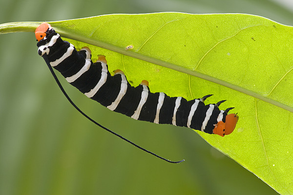 Hawk Moth Caterpillar Guyana Print by Piotr Naskrecki