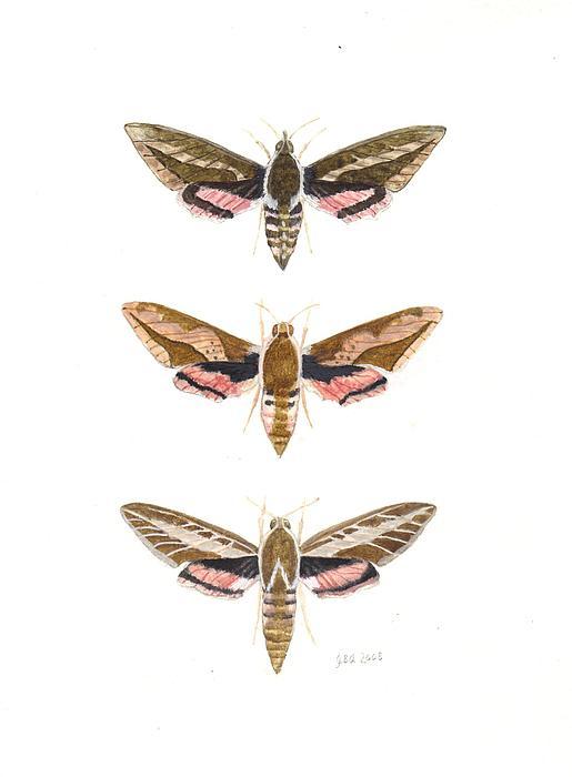 James Alden - Hawk Moths