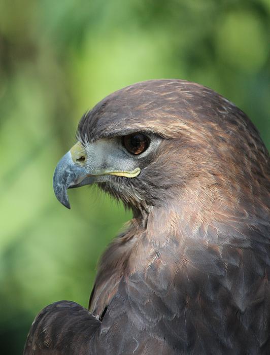 Hawk Profile Print by Alexander Spahn