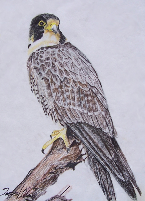 Hawk Drawing  - Hawk Fine Art Print