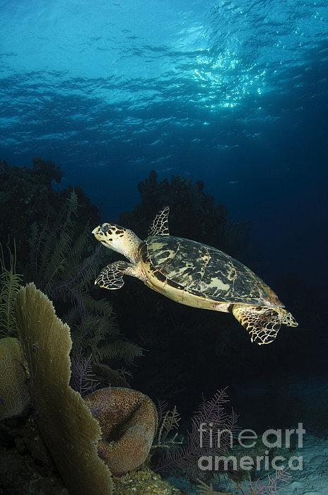 Hawksbill Sea Turtle Swimming Print by Todd Winner