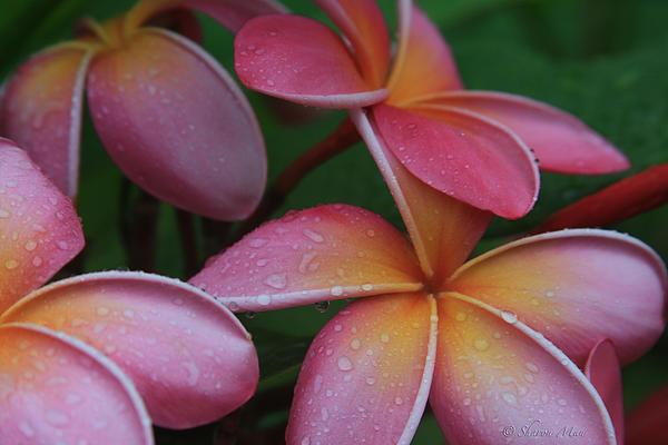 Sharon Mau - He Pua Laha Ole Aloha Hawaii