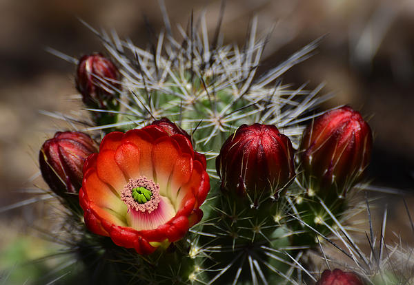 Hedgehog Cactus Flowers  Print by Saija  Lehtonen