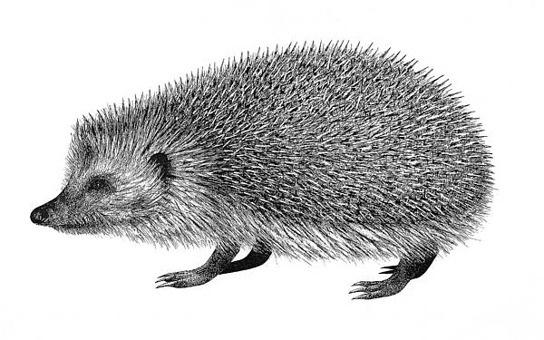 Hedgehog By Riina Maido