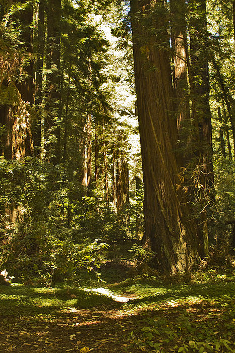 Henry Cowell Redwoods Late Summer Afternoon Print by Larry Darnell