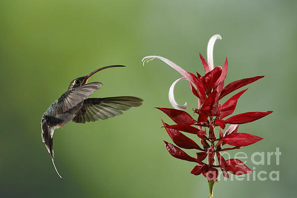 Hermit Hummingbird And Red Flower Print by Juan Carlos Vindas