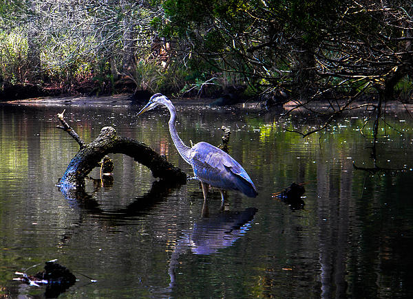 Heron And Root Print by Christy Usilton