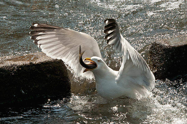 John Klingel - Herring Gull Eating a Herring