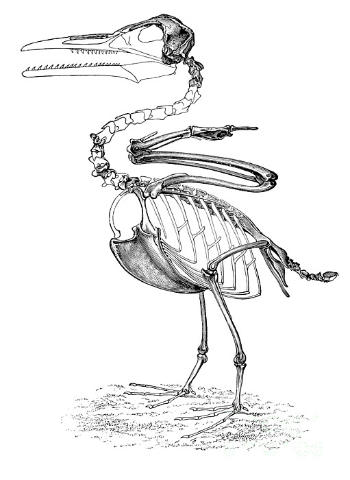 Hesperornis Print by Science Source