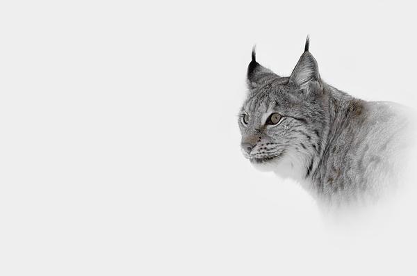 Hi Key Lynx Print by Andy Astbury