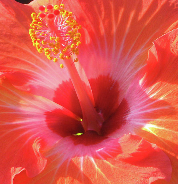 Hibiscus - Shades Of Coral Print by Kerri Ligatich