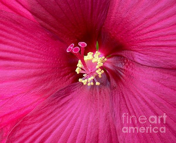 Hibiscus Close Up Print by Marsha Heiken