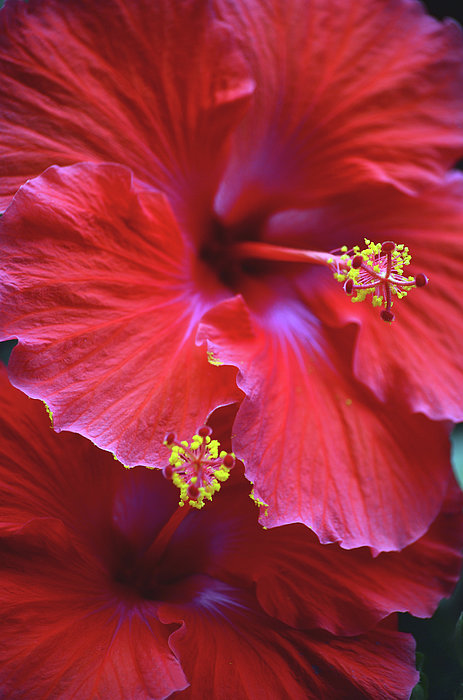Hibiscus Duo Print by Sandi OReilly