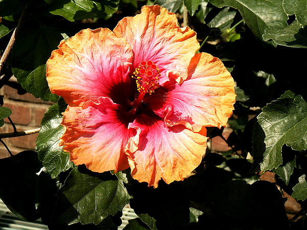 Hibiscus Flower Print by Lisa  Phillips