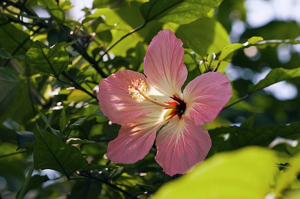 Hibiscus Rosa-sinensis Print by Dr Keith Wheeler