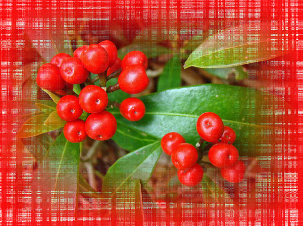 Mother Nature - Holly Berries