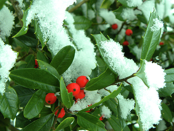 Holly In Snow Print by Sandi OReilly