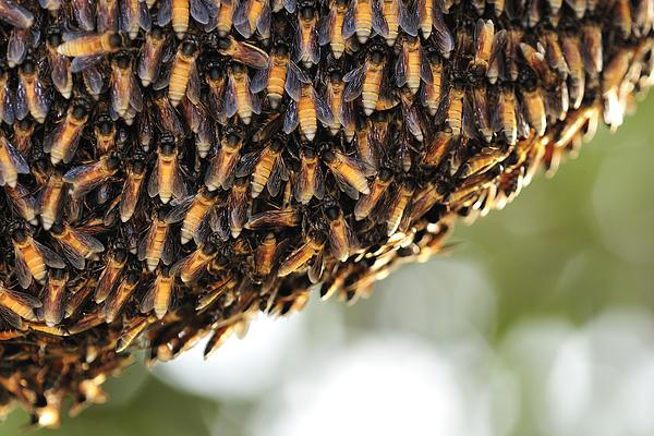 Honeybee Print by Ajay Bundiwal