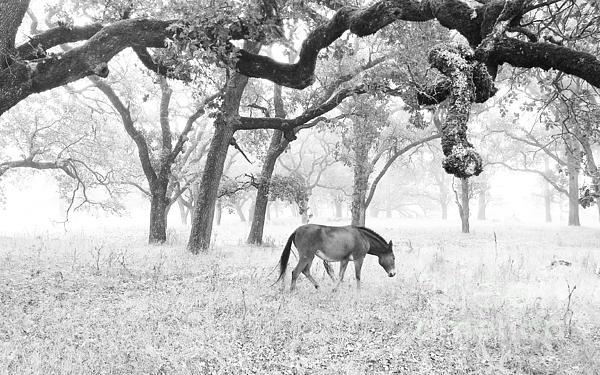 Horse In Foggy Field Of Oaks Print by CML Brown