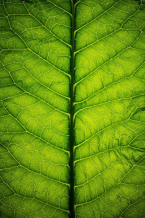 Horseradish Leaf Print by Steve Gadomski