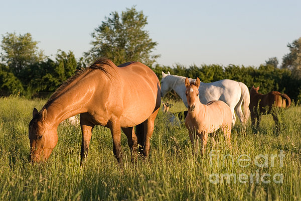 Horses In Green Grassy Pasture Print by Cindy Singleton