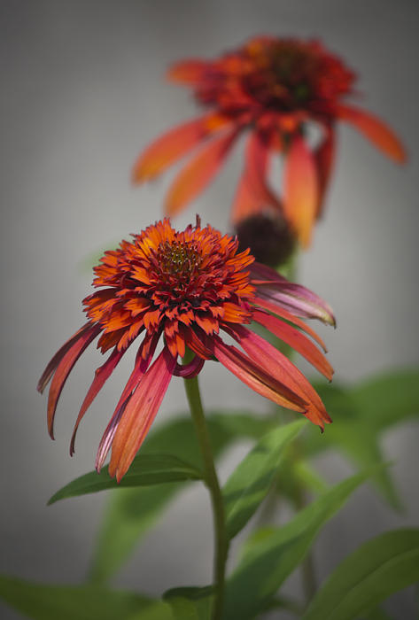 Teresa Mucha - Hot Papaya Coneflowers