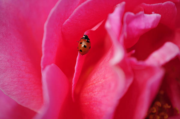 hot pink rose with lady bug by gloria plascencia. Black Bedroom Furniture Sets. Home Design Ideas