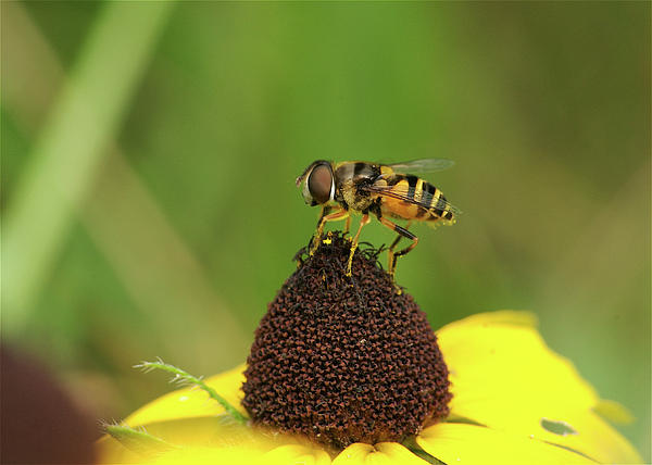 Hoverfly On Brown Eyed Susan Print by Michael Peychich