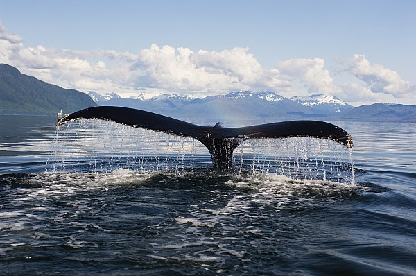 Humback Whale Diving With Tail Flukes Print by James Forte