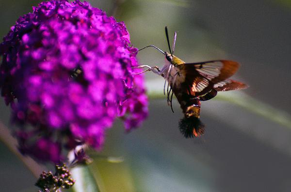 Cheryl Cencich - Humming Bird Moth