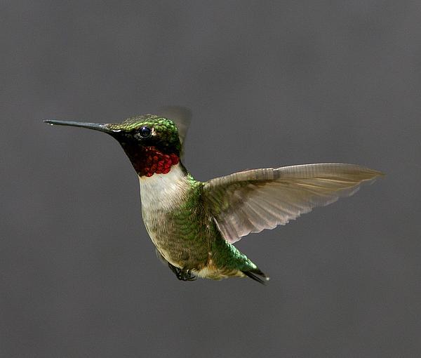 John Crothers - Hummingbird 1