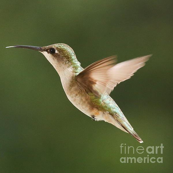 Hummingbird 1 Print by Lori Whalen