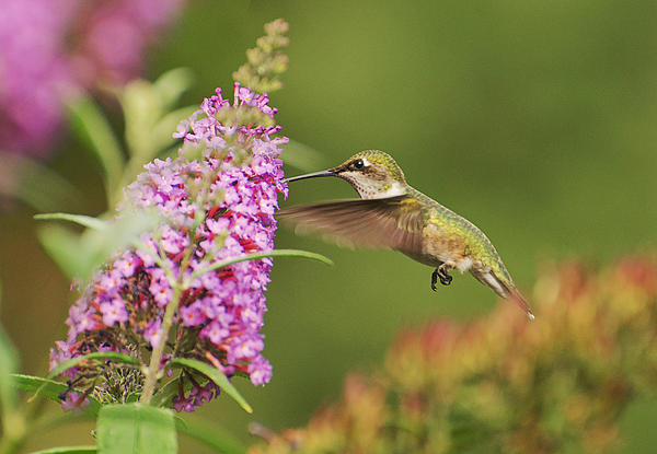 Cheryl Cencich - Hummingbird 2