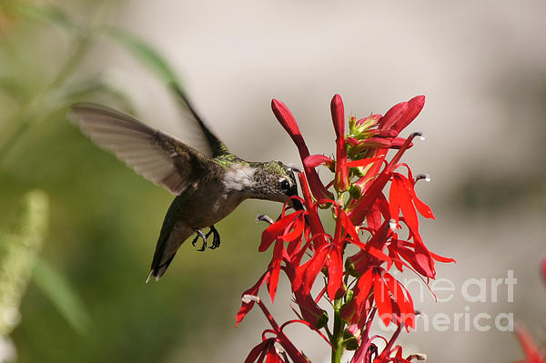Robert E Alter Reflections of Infinity - Hummingbird and Cardinal Flower 8069-1