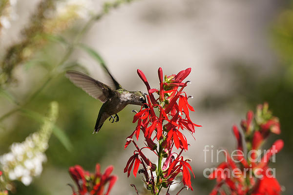 Robert E Alter Reflections of Infinity - Hummingbird and Cardinal Flower 8069-2