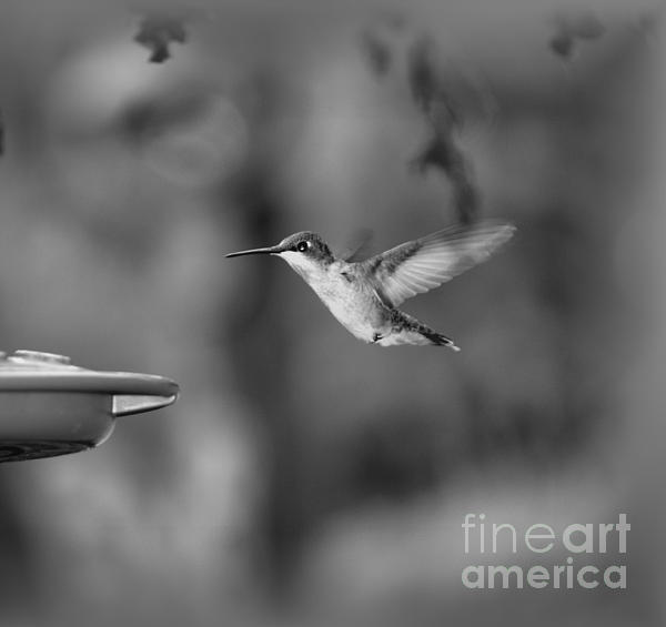 Donna Brown - Hummingbird  Black And White