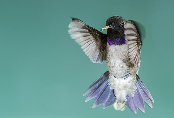 Ray Downs - Hummingbird Black-Chinned Male